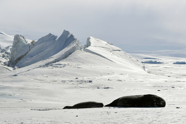 ANTARCTICA: Seals lie on a frozen section of the Ross Sea at the Scott Base in Antarctica on November 12, 2016.. (Photo by Mark Ralston/Reuters)