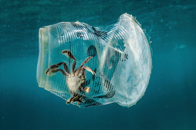 A handout photo made available by Greenpeace shows a crab stuck in plastic in Verde Island Passage, Batangas City, Philippines, 07 March 2019 (issued 12 March 2019). According to a data from the Global Alliance for Incinerator Alternatives (GAIA), Filipinos dispose 163 million pieces of single-use plastic sachets daily. An underwater exploration conducted by Greenpeace in Batangas, Philippines, single-use plastic sachets were found between, beneath, and on the corals and seabed of Verde Island Passage, the epicenter of marine biodiversity in the world. (Photo by Noel Guevara/EPA/EFE/Greenpeace)