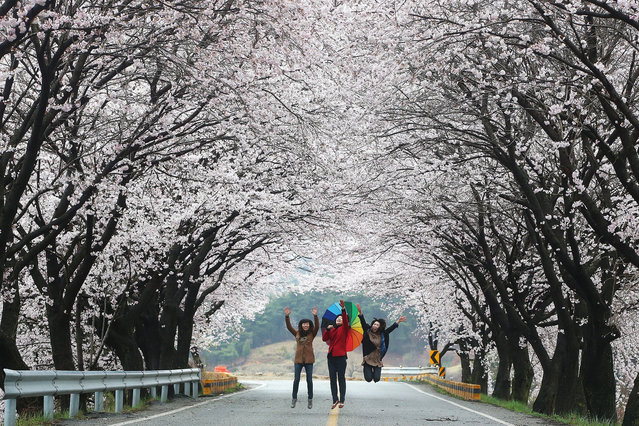 Women jump as they go through a tunnel of cherry blossom trees in Hamyang, southern South Korea, 04 April 2016. (Photo by EPA/Yomhap)