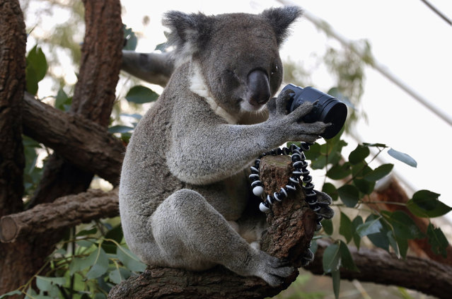 An Australian koala, that was born with a damaged eye, looks at a camera as it sits atop a branch in its enclosure at Wild Life Sydney Zoo, Australia April 3, 2014. (Photo by David Gray/Reuters)