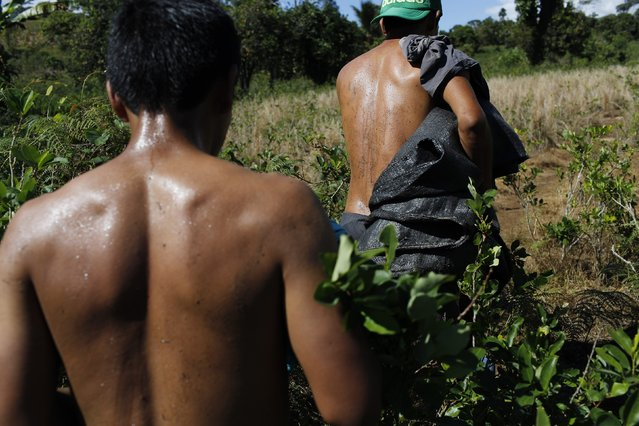 In this June 20, 2015 photo, laborers walk through a field with bags used for carrying harvested coca leaves, in Samugari, Peru. Nearly all the coca they pick ends up being processed into cocaine, and many worry that the government will finally begin destroying the crop, as it has elsewhere. (Photo by Rodrigo Abd/AP Photo)