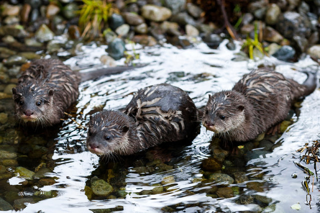 Asian small-clawed otter pups, born in January, join their family to play, tumble and tussle at their public debut at the Woodland Park zoo in Seattle, on April 26, 2014. (Photo by Jordan Stead/AP Photo)