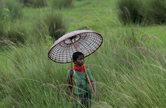 A young Indian villager holds a traditional handmade umbrella as he grazes his buffaloes at a field on the outskirts of Bhubaneswar, India, Saturday, July 11, 2015. (Photo by Biswaranjan Rout/AP Photo)