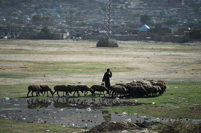 A shepherd herds his sheep at Shuhada Lake in Kabul on September 11, 2019. (Photo by Wakil Kohsar/AFP Photo)