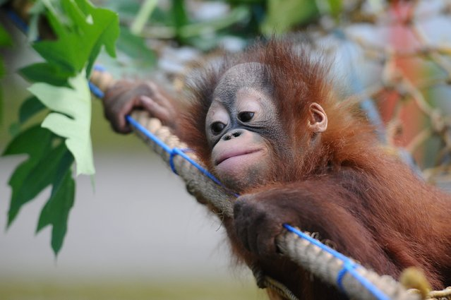 Rizki, 10 months orphaned Bornean orang utan learns to bite at Surabaya Zoo as he prepares to be released into the wild on May 19, 2014 in Surabaya, Indonesia. The two baby orangutans, brothers, were found in Kutai National Park in a critical condition having been abandoned by their mother on May 14, 2014. (Photo by Robertus Pudyanto/Getty Images)