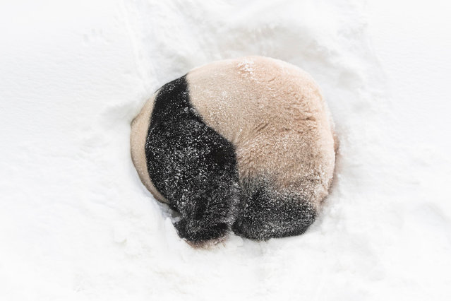 A giant panda plays at the Panda World of Everland, a theme park in Yongin, South Korea on January 15, 2019. (Photo by Jeonghun Ryu/Xinhua News Agency/Barcroft Images)