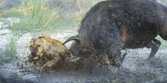 Lion in pursuit of bull being attacked. (Photo by Wim van den Heever/Caters News)
