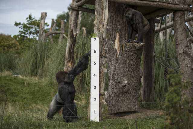 """Kumbuka, a Silverback Western Lowland Gorilla stands next to a large measuring stick during a photocall to promote the London Zoo annual """"weigh-in"""" event on August 24, 2017 in London, England. (Photo by Dan Kitwood/Getty Images)"""