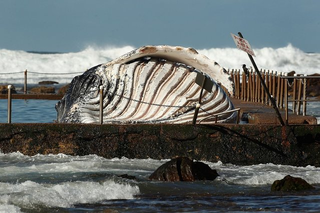 The carcass of a male sub-adult humpback whale washed up at New Port Beach overnight at Newport Beach overnight on August 1, 2012 in Sydney, Australia.  (Photo by Brendon Thorne)