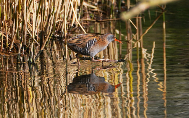 A water rail bird and reflection at Northumberland Park in North Tyneside in North East England on March 16, 2020. (Photo by Owen Humphreys/PA Images via Getty Images)