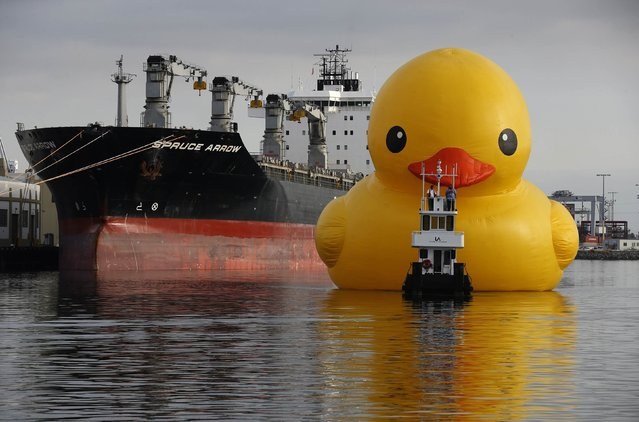 A giant inflatable rubber duck installation by Dutch artist Florentijn Hofman floats through the Port of Los Angeles as part of the Tall Ships Festival, in San Pedro, California August 20, 2014. The creation, which is five stories tall and five stories wide, has been seen floating in various cities around the world since 2007. (Photo by Lucy Nicholson/Reuters)