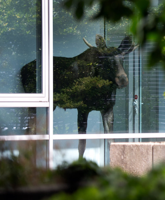 A young moose stands behind a window in an administration building of Siemens in Dresden, Germany, Monday August 25, 2014. (Photo by Arno Burgi/AP Photo/DPA)