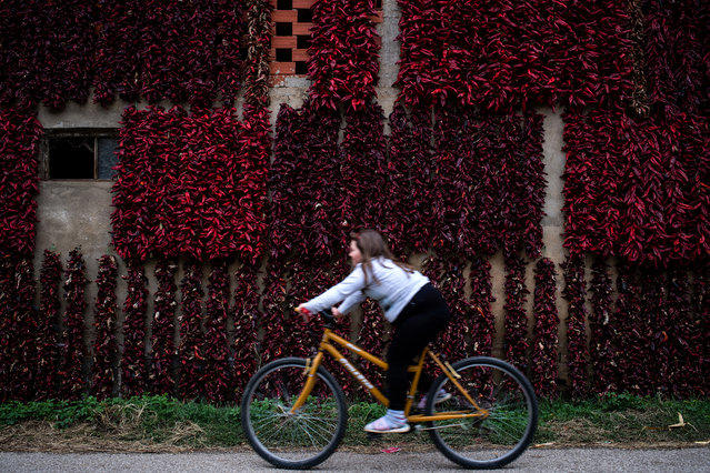 "A girls rides her bicycle past threads of red paprika in the village of Donja Lokosnica, near the city of Leskovac, Southern Serbia, on September 25, 2017. Donja Lokosnica is the Serbian ""capital of paprika"", since almost all of the 1300 inhabitants are involved in growing paprika. As autumn approaches, the whole village turns red, because of the many threads of dried peppers that hang around Lokosnica, waiting for their winter use. Each of these paprika threads is handmade, still dried according to traditional techniques, assisted solely by the sun and fresh air. (Photo by Andrej Isakovic/AFP Photo)"