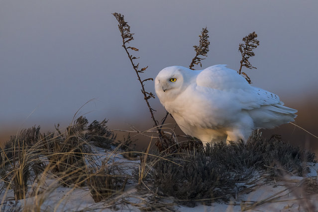 """Snowy owl, New York"". An adult male Snowy Owl, wide awake at the day's first light in Otis Pike Fire Island High Dune Wilderness Area, N.Y. (Photo by Scott Joshua Dere/Smithsonian Wilderness Forever Photo Contest)"