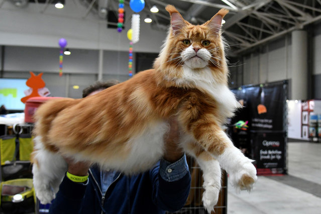 """A man shows a Maine Coon cat named Toro Seduto during the """"SuperCat Show 2017"""" on November 11, 2017 in Rome, Italy. Considered the Super Bowl for all things feline, the two-day exhibition features beauty contests, information sessions, shopping and interactive games. (Photo by Alberto Pizzoli/AFP Photo)"""