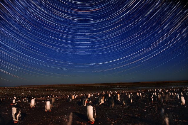 "A composite of 216 images shows the trail of stars over colonies of Gentoo and King penguins on Friday, February 19, 2016, in Bluff Cove, Falkland Islands.  Hattie and Kevin Kilmartin own 35,000 acres of land along 20 miles of due-south-facing coastline that encompasses Bluff Cove, where they offer guided day tours to cruise ship visitors to the Falkland Islands. When Kevin bought the land in 1980, he ran a traditional Falklands sheep farm selling wool on the international market.  In 2002, he and his wife diversified into tourism. He says, ""Tourism is the thing that has revolutionized the farm economy. When we were buying the farm as a sheep farm, it never occurred to anybody at all that they (penguins) were going to play any part whatsoever in the finances of the farm. (Photo by Jahi Chikwendiu/The Washington Post)"