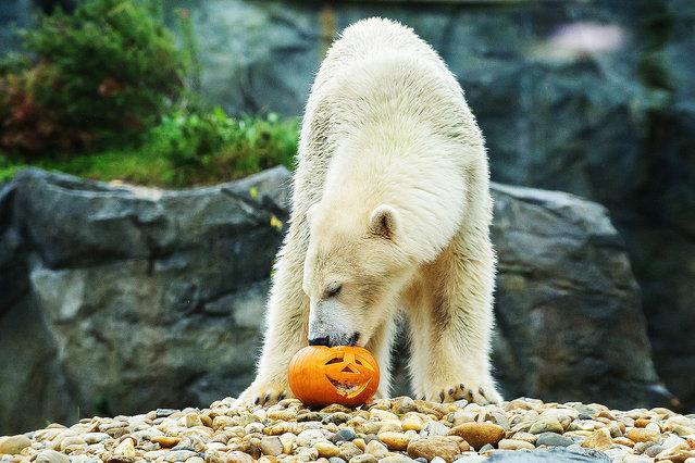 White bear eats a special Halloween pumpkin. (Photo by Daniel Zupanc/EuroPics/Schönbrunn Zoo)