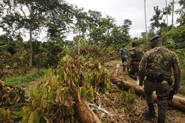 Agents of the OIPR, one of the government agencies charged with managing protected land, patrol among destroyed cocoa plants inside Mont Peko National Park in Duekoue department, western Ivory Coast August 18, 2015. (Photo by Luc Gnago/Reuters)REUTERS/Luc Gnago
