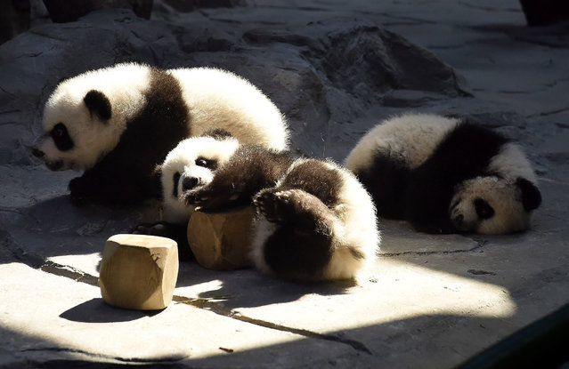 The panda triplets play in the Chimelong Wildlife Park in Guangzhou in south China's Guangdong province, 09 December 2014. The keepers gave one cub to the mother panda Ju Xiao each time on a rotation basis at the first, and now Ju Xiao can take care of her three cubs at the same time. The cubs, born on July 29, are the fourth panda triplets recorded in history and the only living triplets now in the world. (Photo by Wilson Wen/EPA)