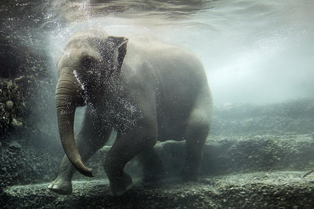 The elephant cow Omysha dives under water in its enclosure at the Zoo in Zurich, Switzerland, Wednesday, February 3, 2021. (Photo by Alexandra Wey/Keystone via AP Photo)
