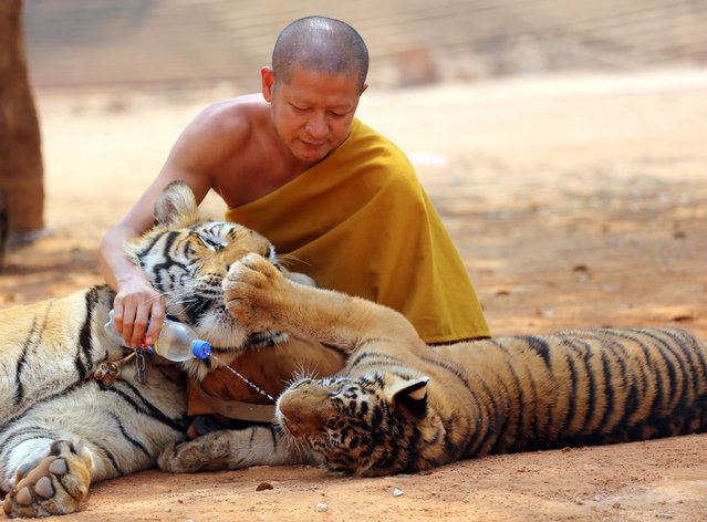 A Thai Buddhist monk feeds water to a tiger at the Tiger Temple, in Saiyok district in Kanchanaburi province, west of Bangkok, Thursday, February 12, 2015. (Photo by Sakchai Lalit/AP Photo)