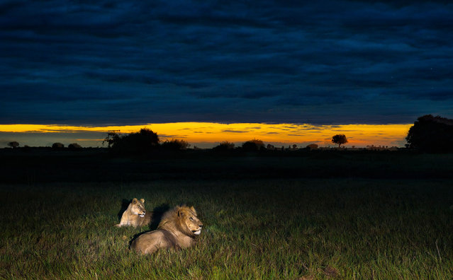 A midnight safari has been caught on camera as wild animals gather in front of a full moon. Photographer Brendon Cremer, 35, snapped the impressive collection of night sky images while in South Africa, Namibia, and Botswana. It can be challenging for even the best photographers to take full control of their camera while ensuring they don't become the deadly animals' next meal. But this impressive set of images looks both effortless and fierce. Here: A lion and lioness relax in the grass. (Photo by Brendon Cremer/Caters News)
