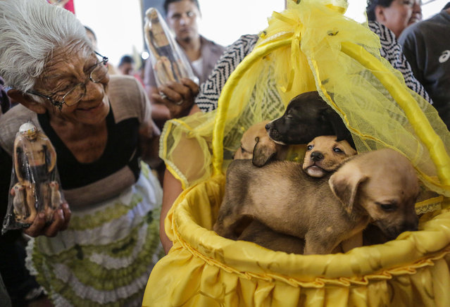 A woman looks at a litter of puppies on a basket during a mass for San Lazaro (Saint Lazarus), at Monimbo neighbourhood in Masaya, some 35 km south of Managua, on March 22, 2013. According to tradition in Nicaragua, faithfuls ask San Lazaro for the health of their dogs and pay these favours back by bringing their pets dressed in costumes to attend mass in honour of the saint. (Photo by Inti Ocon/AFP Photo)