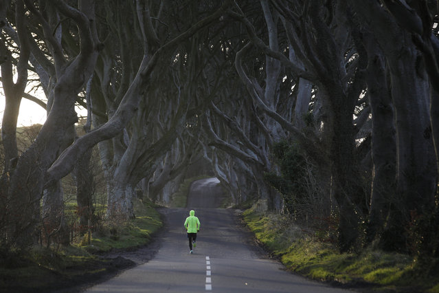 A jogger runs along Bregagh Road at Dark Hedges, Armoy, Northern Ireland, Wednesday, February 10, 2016.  Road markings have been painted by mistake on the world famous road that features the Dark Hedges tree lined road which was made famous by the Game of Thrones and is now a massive tourist attraction. (Photo by Peter Morrison/AP Photo)