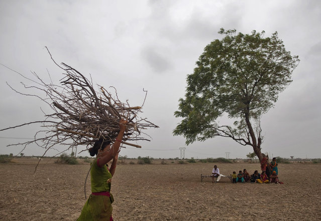 A village woman carries firewood as others rest under a tree after they migrated due to shortage of water on the outskirts of Sami town in Gujarat August 6, 2012. (Photo by Ahmad Masood/Reuters)