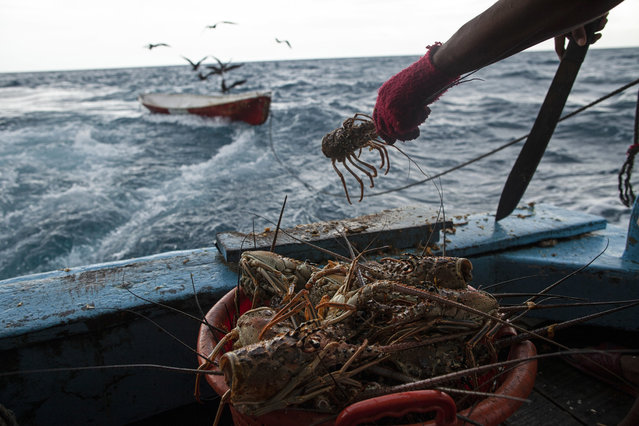 In this September 9, 2018 photo, a worker cleans a batch of lobsters near Cay Savannah, Honduras. After the lobsters are cleaned they are stored in the ship's large freezers. (Photo by Rodrigo Abd/AP Photo)
