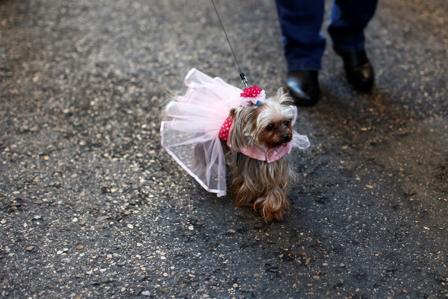 A dog walks after a mass outside San Anton Church in Madrid, Spain, January 17, 2017. (Photo by Juan Medina/Reuters)