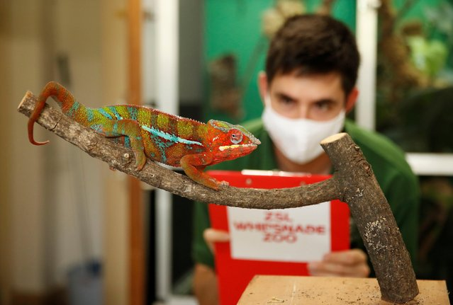 Zoo keeper Thomas Maunders observes a Panther Chameleon at ZSL Whipsnade Zoo 2021 weigh-in and measurement, in Dunstable, Britain, August 24, 2021. (Photo by Matthew Childs/Reuters)