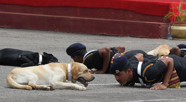 Indian army commandos with their dogs perform during a show at a parade ground in Secunderabad, the twin city of Hyderabad on July 14, 2013, on the eve of the diamond Jubilee celebrations of The Military College of Electronics and Mechanical Engineering (MCEME). (Photo by Noah Seelam/AFP Photo)