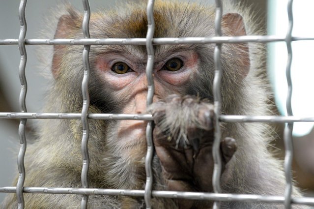 "A Rhesus macaque, part of the 11 rescued monkeys from research laboratories, reacts from the quarantine room of the future animal shelter ""La Taniere"", in Nogent-le-Phaye near Chartres, on March 13, 2019. The refuge, which will open to the public in 2020, cares for retired or mistreated animals from circus, people or illegal farms. (Photo by Jean-Francois Monier/AFP Photo)"