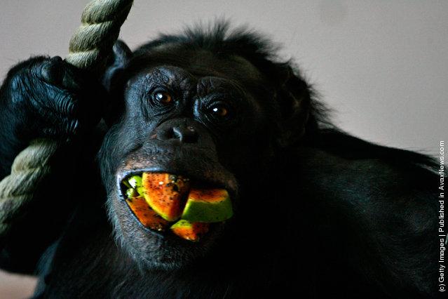 A chimpanzee at Edinburgh Zoo eats