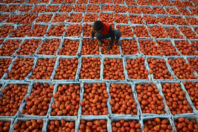 A young Indian boy working at a wholesale vegetable market sorts through tomatoes in Jalandhar on January 23, 2019. (Photo by Shammi Mehra/AFP Photo)