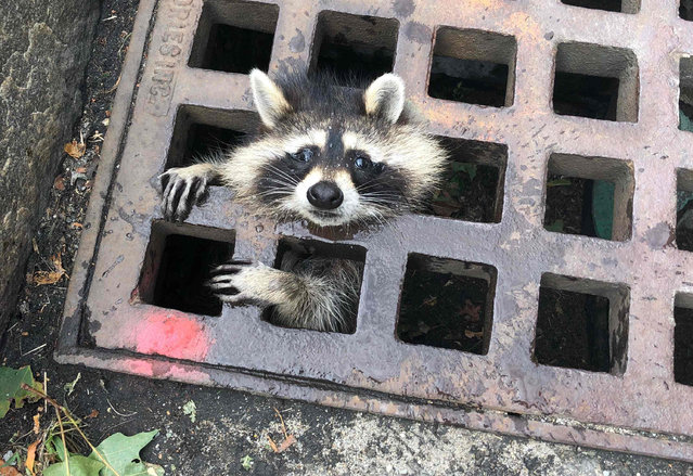 In this photo released by the Newton Fire department, a juvenile raccoon looks out from a grate after getting stuck in Newton, Massachusetts on August 1, 2019. The fire department was able to rescue the raccoon and free him from the grate. (Photo by HO/Newton Fire Department/AFP Photo)
