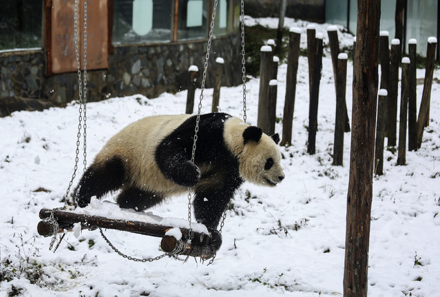 A giant panda plays on a swing after snowfall at a wildlife park in Kunming, Yunnan province, China January 10, 2015. (Photo by Wong Campion/Reuters)