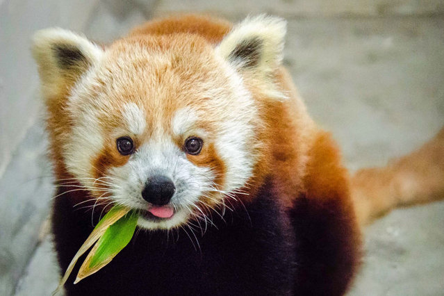 """In this photo taken April 14, 2014 provided by the San Francisco Zoo, is a 10-month-old red panda, the newest resident of the San Francisco Zoo. The small male panda native to the eastern Himalayas and western China will be installed in a new enclosure. His new home comes complete with a custom-made treehouse built by the crew from the Animal Planet show """"Treehouse Masters"""". The exhibit will open to the public on May 10. (Photo by Jessie Greger/AP Photo/San Francisco Zoo)"""