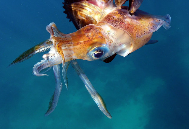 A squid swims underwater off the shore of the coastal city of Qalamun, north of the Lebanese capital Beirut, on September 24, 2019. (Photo by Ibrahim Chalhoub/AFP Photo)