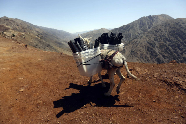 A donkey transports ballot boxes and other election material on to polling stations which are not accessible by road in Shutul, Panjshir province June 13, 2014. (Photo by Omar Sobhani/Reuters)