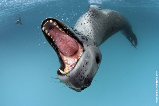 The sea leopard. The Antarctic Peninsula. (Photo by Paul Nicklen)