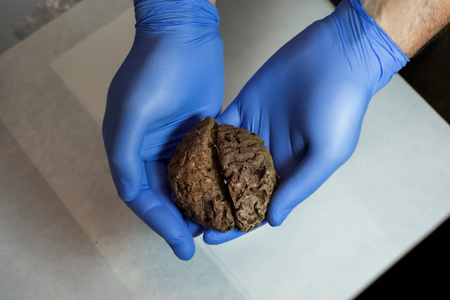 Fernando Serrulla, a forensic anthropologist of the Aranzadi Science Society, shows one of the 45 brains saponified of those killed by forces of the dictator Francisco Franco which were found in 2010 in a mass grave around the area known as La Pedraja, at a laboratory in Verin, Spain, June 9, 2017. (Photo by Juan Medina/Reuters)