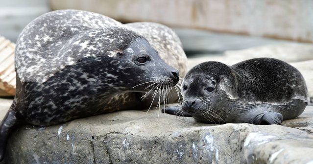 A baby seal pup called Cody, with its mother, who was born this morning at the Blue Reef Aquarium in Tynemouth, on July 11, 2014. The pup is only the second one to be born at the Aquarium and is attracting plenty of interest amongst visitors. (Photo by Owen Humphreys/PA Wire)