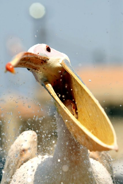 A pelican, which was named Mahrouma, meaning deprived in Arabic, by Lebanese fisherman, Abed Ibrik, waits to be fed in the Lebanese port city of Sidon on July 10, 2012