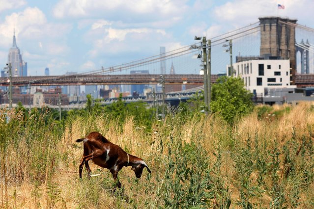 One member of a herd of Nubian goats walks in front of the Manhattan skyline as it grazes along the berm of Brooklyn Bridge Park, part of an ecologically friendly way to weed out unwanted vegetation in the Brooklyn borough of New York, U.S., June 29, 2016. (Photo by Andrew Kelly/Reuters)