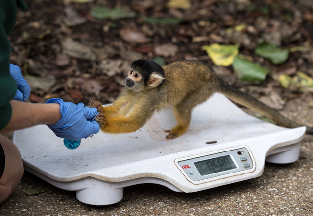 A squirrel monkey is weighed on a scale during a photocall at London Zoo on August 24, 2017, to promote the zoo's annual weigh-in event. (Photo by Chris J. Ratcliffe/AFP Photo)