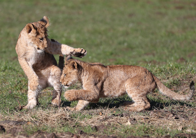 Two young lion cubs play the spring sunshine at the Blair Drummond Safari Park near Stirling, Scotland on March 19, 2020. The cubs, who have completed their immunisations and been introduced to the rest of the pride, were given full access to the large lion habitat in the drive-thru reserve at the Park last week. The two female lion cubs were born on 22nd November 2019, to Mum Libby and Dad Zulu. They bring the total pride at the Safari Park to nine. (Photo by Andrew Milligan/PA Images via Getty Images)