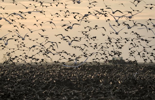 In this, Thursday, September 28, 2017, photo starlings and gulls fly above agricultural areas as tractors plough the land near Mizil, Romania. (Photo by Vadim Ghirda/AP Photo)