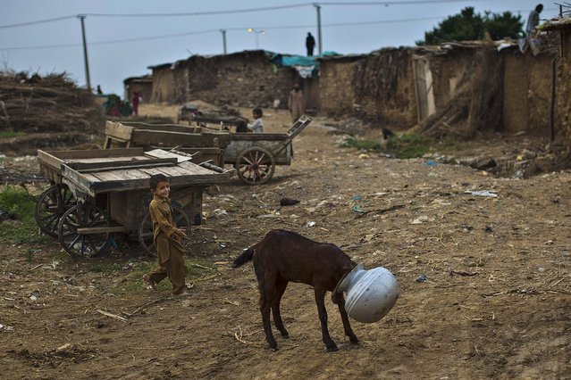 An Afghan refugee boy, runs to help a goat, after sticking it's head in a bowl of water, in a poor neighborhood on the outskirts of Islamabad, Pakistan, Wednesday, September 24, 2014. (Photo by Muhammed Muheisen/AP Photo)